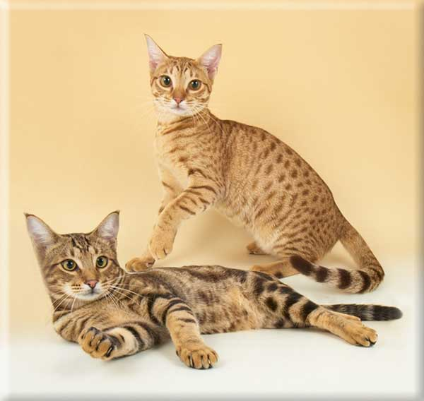 Ocicat and Aztec